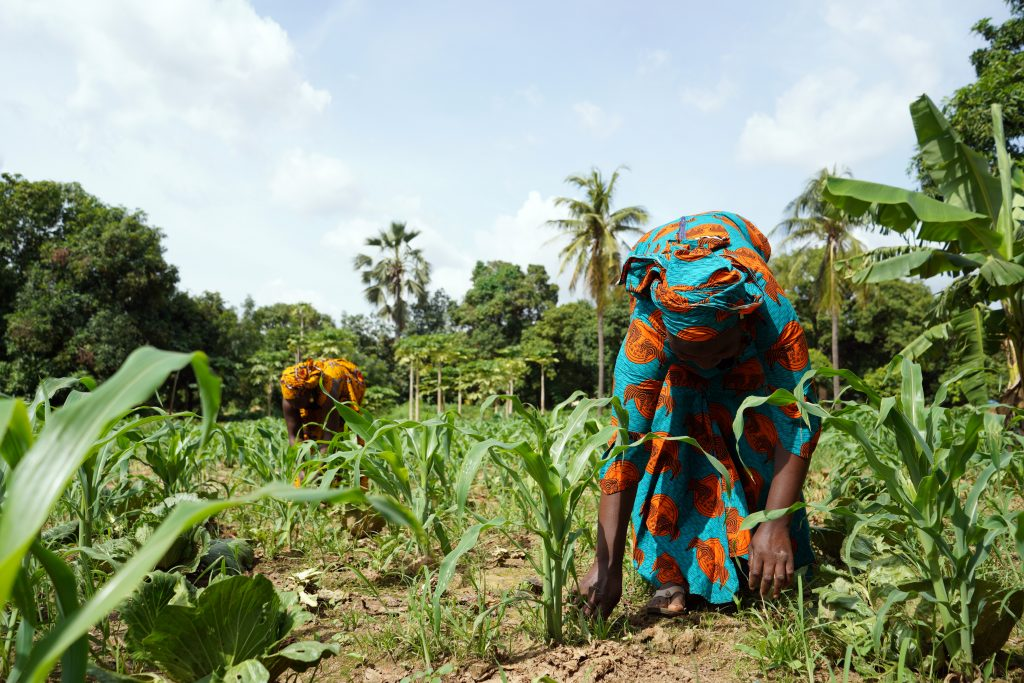 Two African Women In Traditional Dresses Cleaning Up An Extremely Weedy Maize Field